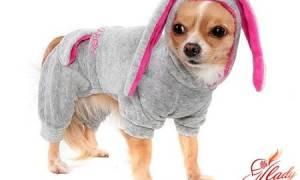 Учимся шить одежду для собак с нуля. Выкройки одежды для собак мелких пород своими руками: особенности построения чертежа и пошива на примере мастер-класса по изготовлению спортивного комбинезона для чихуахуа